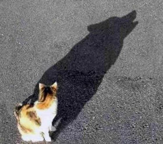 Shadow of a cat looks like a howling wolf