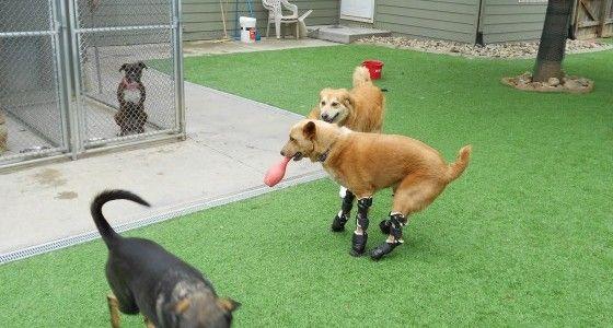Nakio the dog running around with his new prosthetic legs