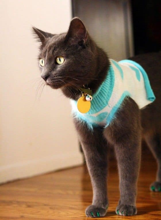 cat wearing vest