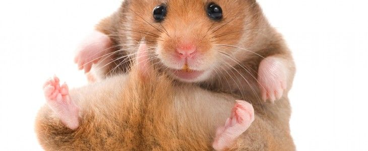 syrian-hamster-pet