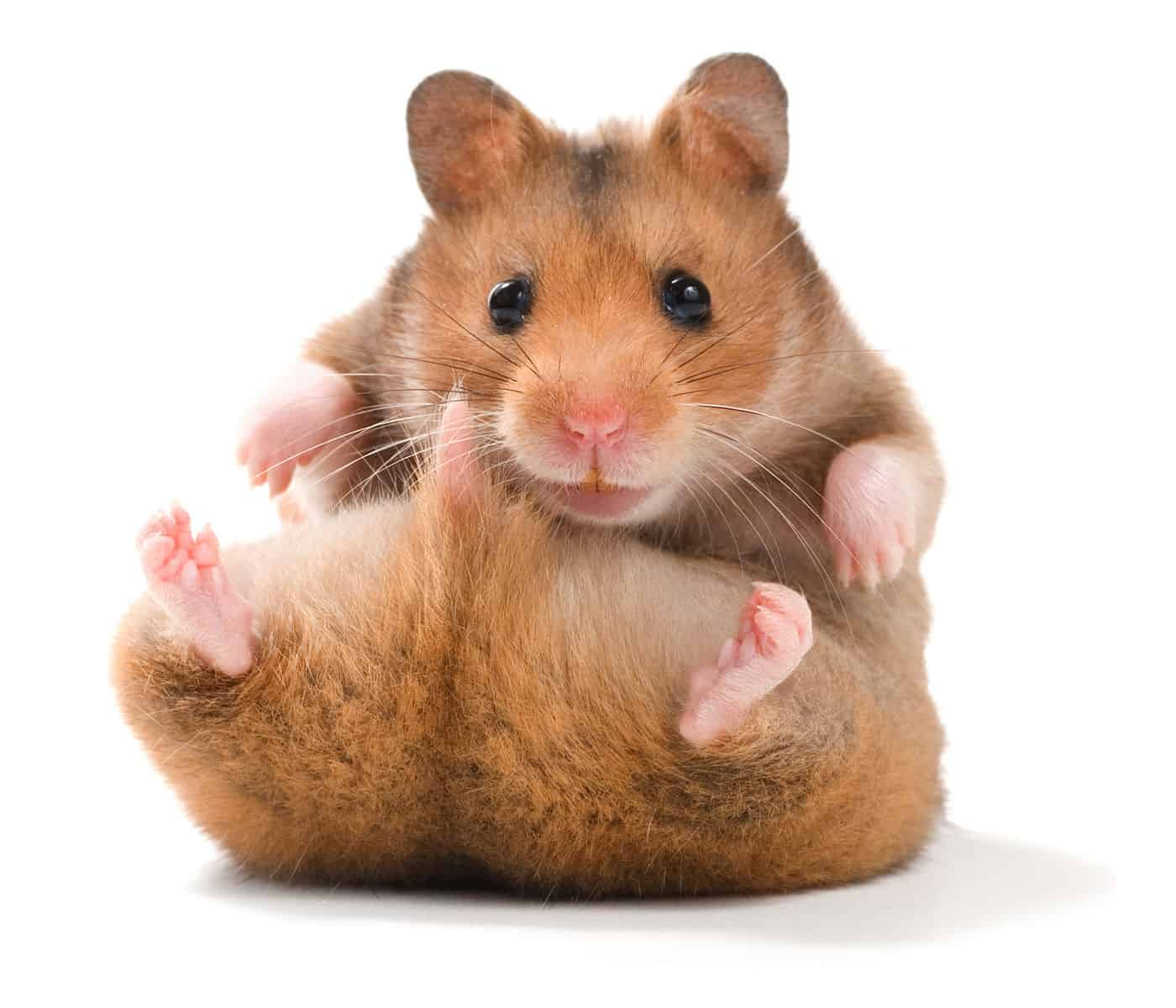 rodent pets for children   yea or nay   unfinished man
